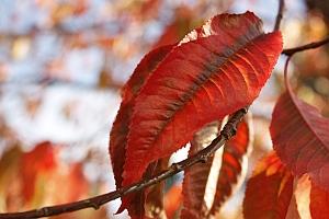red_leaf_sm