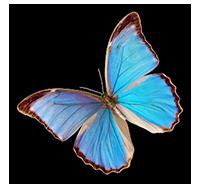 morpho_butterfly